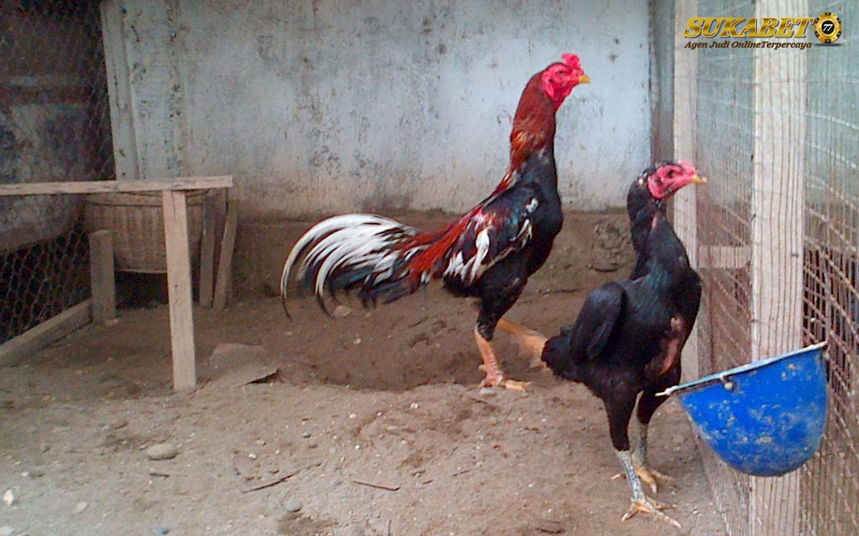 4 Sistem Menjadikan Ayam Bangkok Agar Produktif