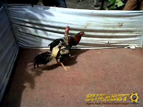 Tips Bila Melawan Ayam Aduan Birma