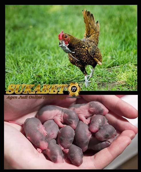 Manfaat Pemberian Anak Tikus Untuk Ayam Aduan