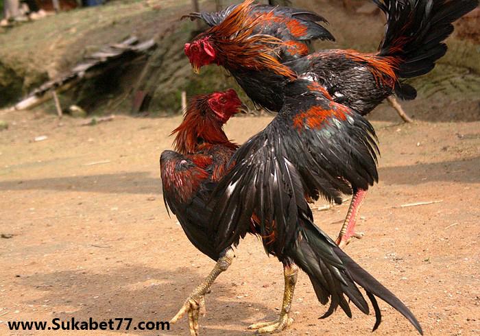 Teknik Bertarung Ayam Berubah