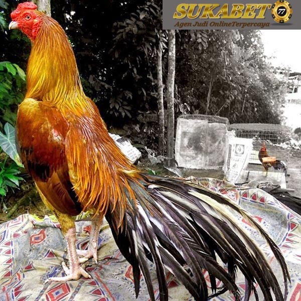 7 Teknik Pertarungan Ayam Katuranggan