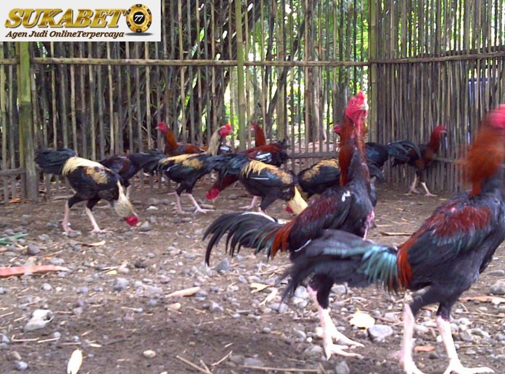 Fenomenal Tentang Ayam Bangkok