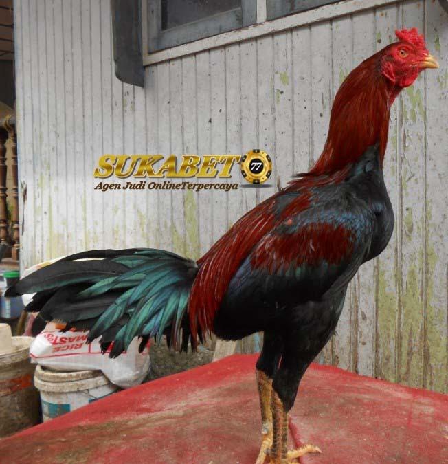 perkembangan ayam birma