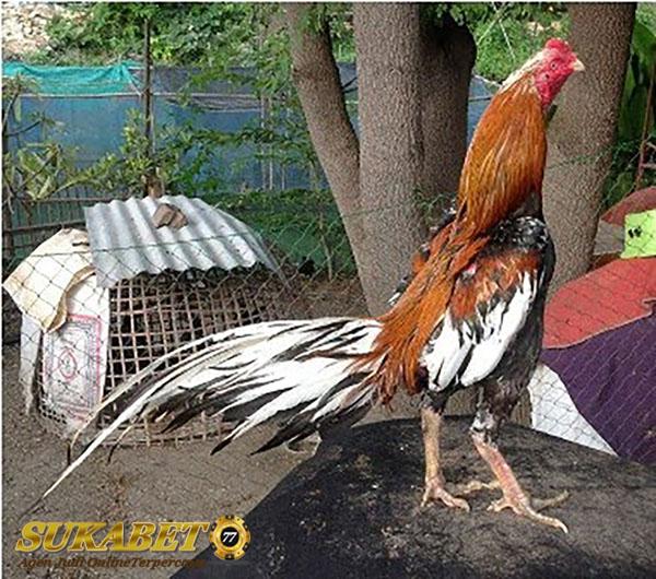 3 Jenis Ayam Laga Yang Dianggap Juara Bertahan Hingga Kini