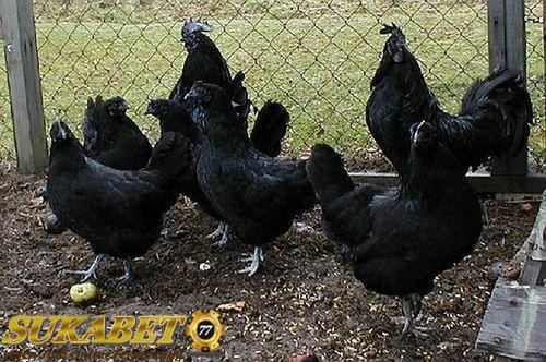 5 Jenis Ayam Yang Paling Antik Yang Ada Didunia