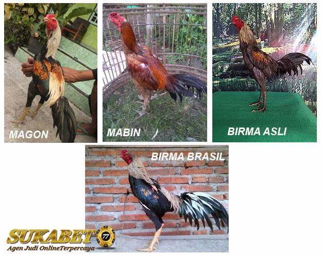 Jenis-Jenis Ayam Birma Pertarung Cepat
