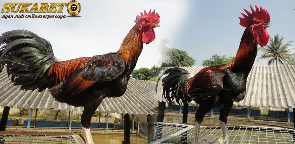 Jenis Ayam Yang Merupakan 100% Ayam Indonesia