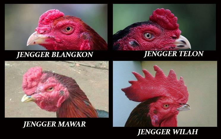 4 Jenis Jengger Ayam Aduan Yang Bermental Juara