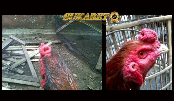Misteri Jengger Ayam Bangkok Sumur Bandung