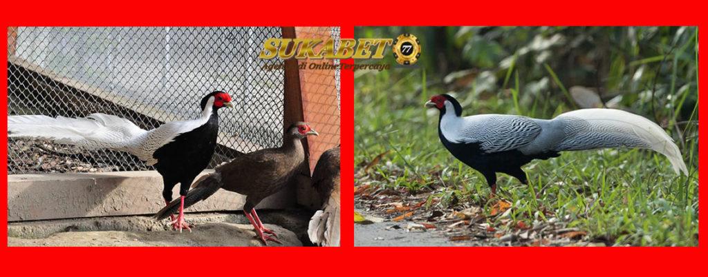 Cara Berternak Ayam Hias Silver Pheasant Yang Indah