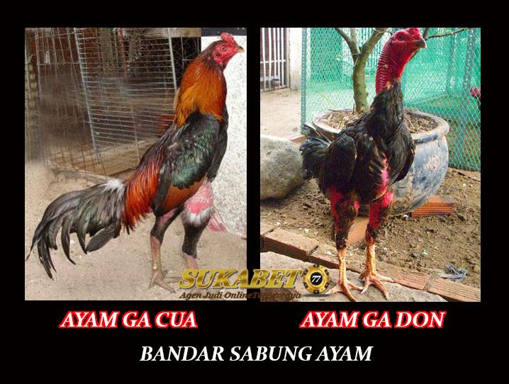 Perbedaan Ayam Aduan Ga Don Dan Ayam Ga Cua Asli Vietnam