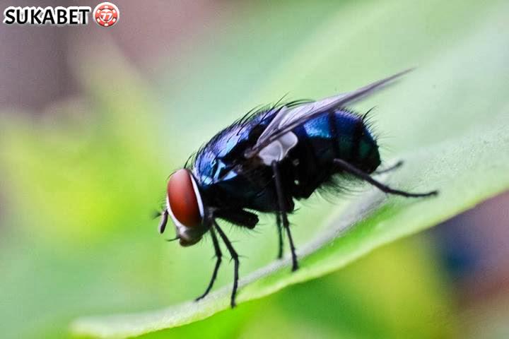 Tips Mudah Mengatasi Lalat Yang Mengganggu Di Kandang Ayam