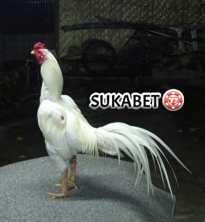 Penjelasan Mengenai Mitos Ayam Bangkok Putih Yang Dianggap Mistis