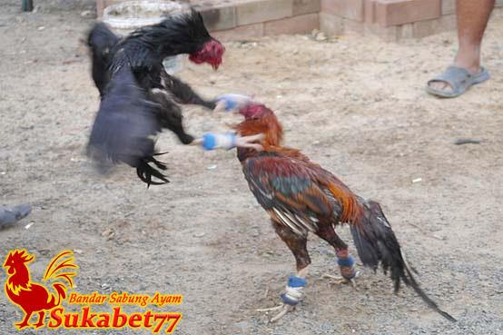 Cara Mengatasi Ayam Petarung Yang Malas Agar Kembali Agresif
