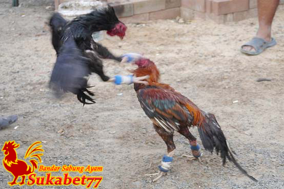 Alasan Mengapa Ayam Aduan Kehilangan Bobot Tubuhnya