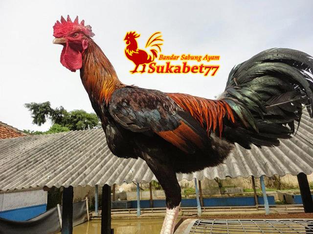 Ciri Utama Ayam Pelung Berserta Keunggulannya
