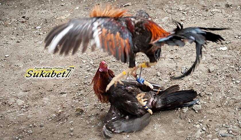 Beberapa Cara Kotor Untuk Memenangkan Ayam Aduan