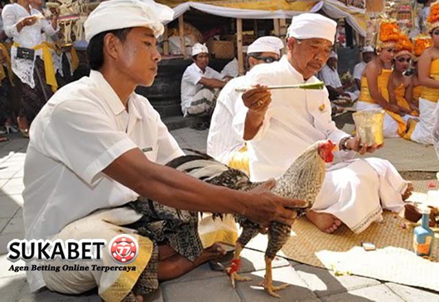 Menyambut Tradisi Tajen Yang Terkenal Di Kalangan Masyarakat Bali