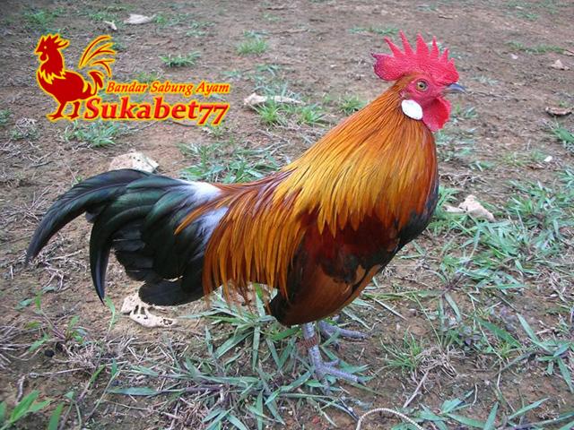 Mengenal Ayam Brugo, Ayam Eksotis Dari Pulau Sumatera