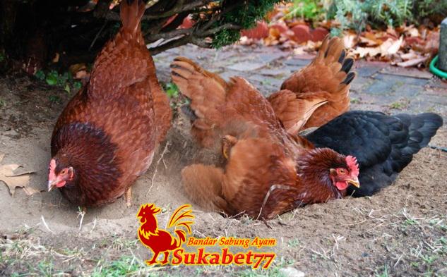 Fakta Unik Tentang Ayam Yang Mungkin Belum Anda Ketahui
