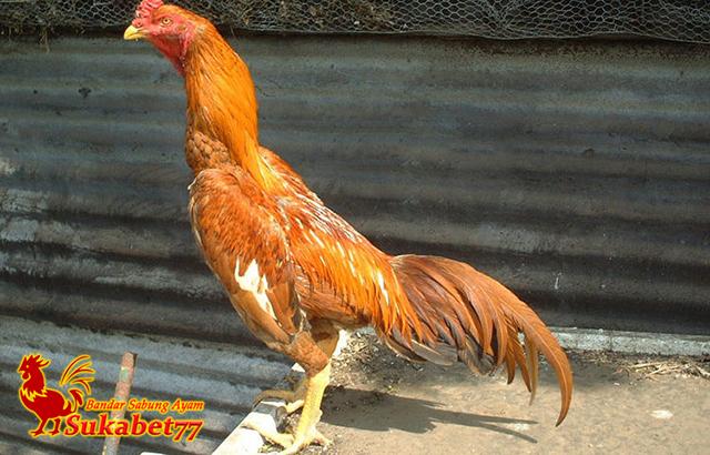 Yang Membedakan Ayam Bangkok Wangkas Emas Dengan Ayam Lain
