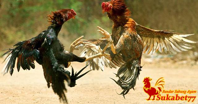 Ciri Utama Sebagai Penentu Ayam Aduan Calon Juara