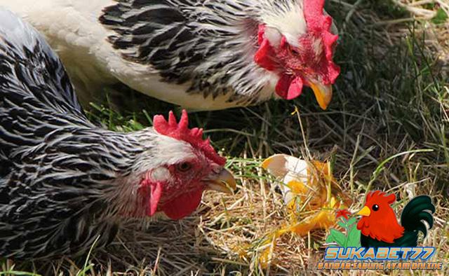 Alasan Kenapa Ayam Babon Memakan Telurnya Sendiri
