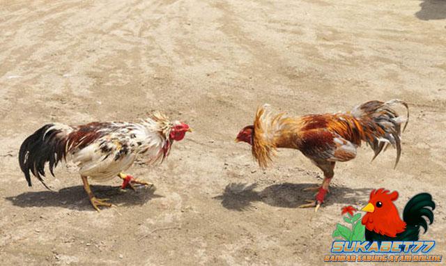 Ciri Utama Yang Membedakan Ayam Taji Dengan Ayam Pukul
