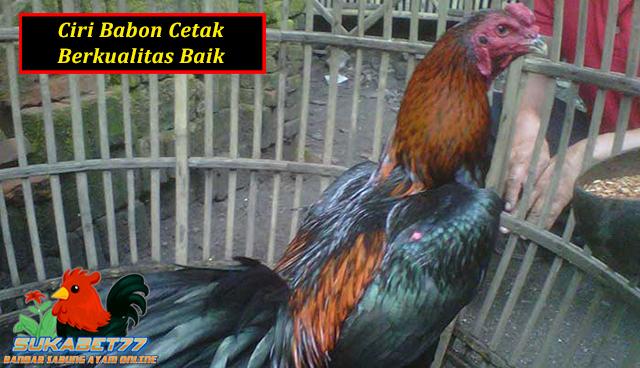 Ciri Ayam Bangkok Yang Cocok Dijadikan Babon Cetak