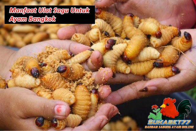 Manfaat Ulat Sagu Untuk Ayam Bangkok