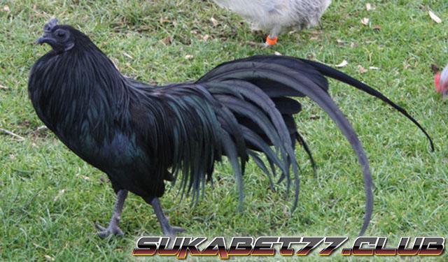 Mengenal Lebih Dekat Dengan Ayam Black Sumatra