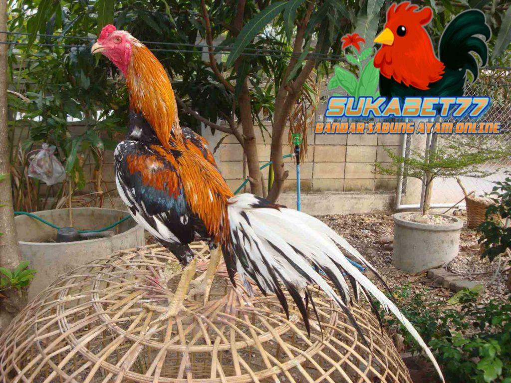 Mengenal Ayam Satria Sinekti Beserta Kelebihannya