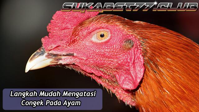 Langkah Mudah Mengobati Congek Pada Ayam