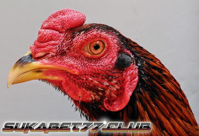 Tips Mudah Menjaga Bentuk Paruh Ayam Aduan