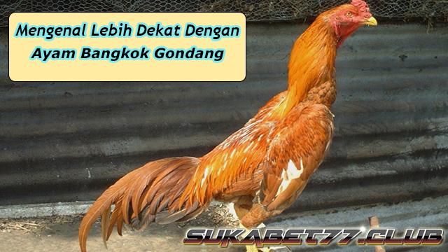 Mengenal Lebih Dekat Ayam Bangkok Gondang