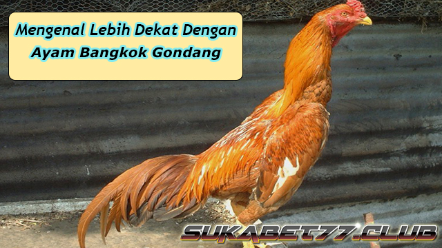73+ Gambar Ayam Satria Sinekti Paling Keren