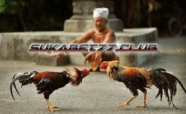 Pengertian Teknik Solah Untuk Ayam Aduan