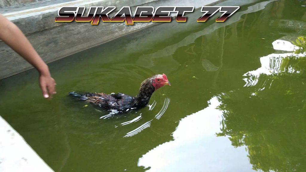 Macam Latihan Untuk Memperpanjang Nafas Ayam Bangkok
