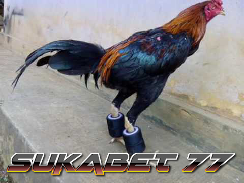 Latihan Barbel Pada Kaki Ayam Aduan
