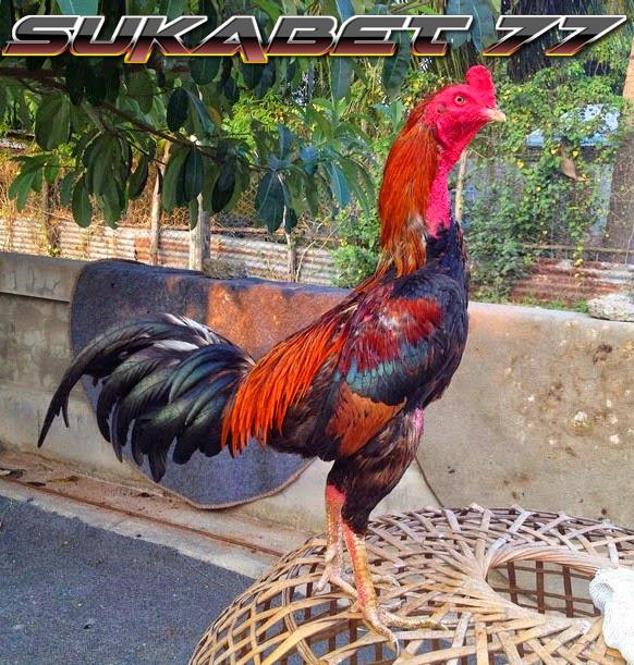 Ciri-ciri Ayam Bangkok Yang Sudah Siap Diadu