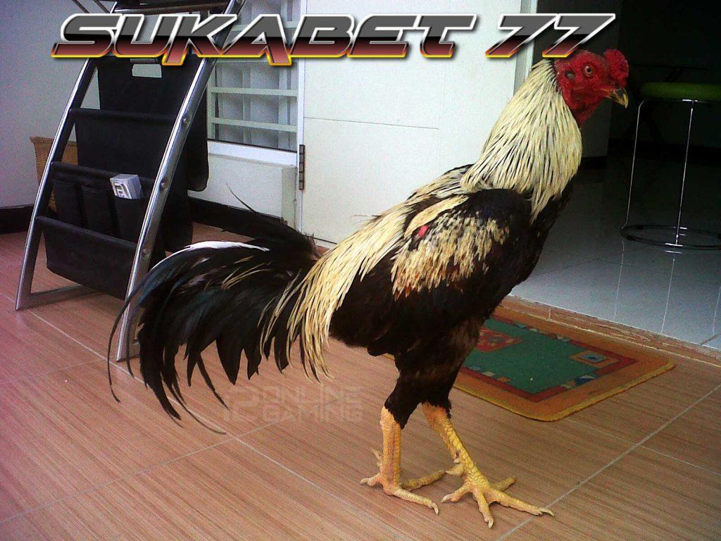 Mengenal Ayam Katuranggan Wido Yang Terkenal