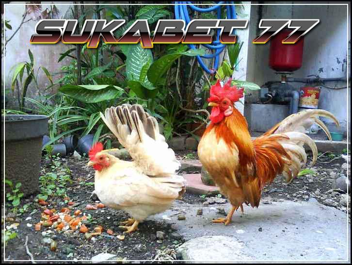 Perbedaan Antara Ayam Kate Dan Ayam Serama